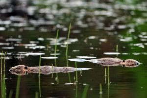 Supporting the reintroduction of key species - such as the European beaver